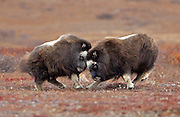 Alaska; Muskox (Ovibos moschatus) calves play fighting on the autumn tundra of the Seward Peninsula, outside of Nome.