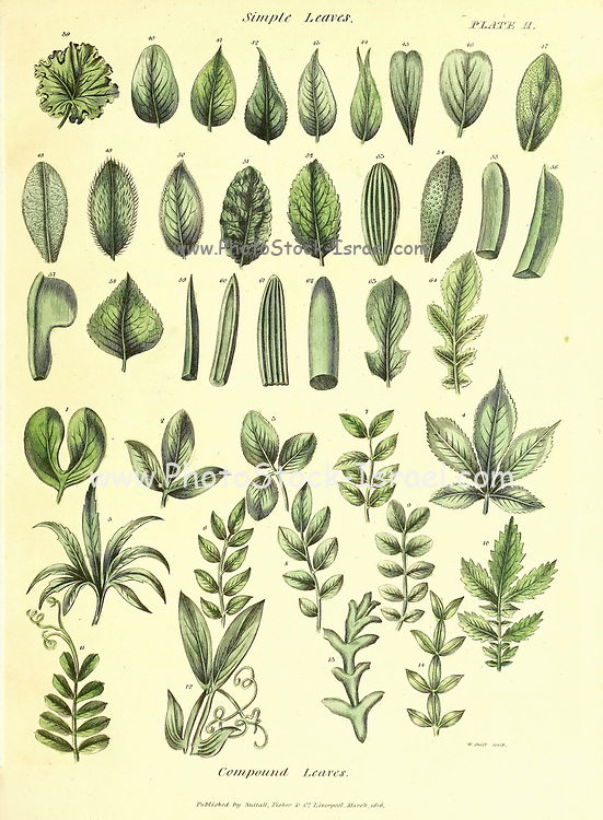 Simple and Compouned Leaves from Vol 1 of the book The universal herbal : or botanical, medical and agricultural dictionary : containing an account of all known plants in the world, arranged according to the Linnean system. Specifying the uses to which they are or may be applied By Thomas Green,  Published in 1816 by Nuttall, Fisher & Co. in Liverpool and Printed at the Caxton Press by H. Fisher