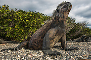 Marine Iguana (Amblyrhynchus cristatus)<br /> Fernandina Island<br /> GALAPAGOS ISLANDS<br /> ECUADOR. <br /> South America<br /> ENDEMIC TO THE ISLANDS