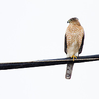 Among the bird world's most skillful flyers, Cooper's Hawks like this one shown at Sandy Hook National Park NJ are common woodland hawks that tear through cluttered tree canopies in high speed pursuit of other birds. With their smaller lookalike, the Sharp-shinned Hawk, Cooper's Hawks make for famously tricky identifications