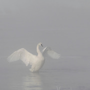 Trumpeter Swan on the Madison River in Yellowstone National Park. Wyoming