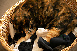 Zelda the cat naps in a basket of socks in the living room of her Oakland, Calif., home, Wednesday, Oct. 28, 2020. (Photo by D. Ross Cameron)