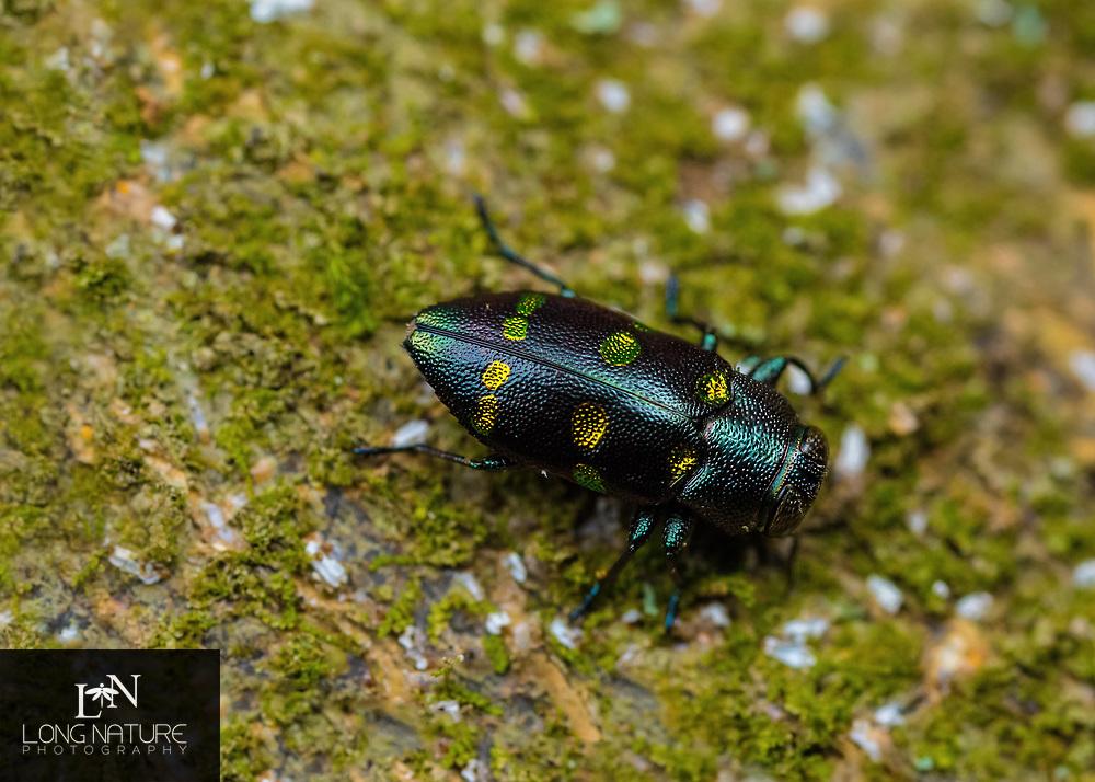 Chrysobothris chrysoela.  Metallic wood boring beetle.  Photographed on a cirtus tree in Lady Lake FL USA.