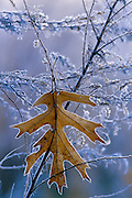 Oak leaf hangs motionless in a field on a cold, frosty morning - Mississippi
