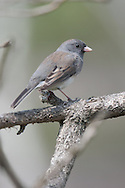 Dark Eyed Junco perched on Tree branch in March the beginning of spring.