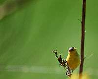 American Goldfinch. Image taken with a Nikon D5 camera and 600 mm f/4 VR lens (ISO 250, 600 mm, f/4, 1/1250 sec).
