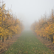 The Rogue Valley in know as Pear Country with thousands of acres of pear orchards producing pears sold around the world.  The pear trees blossom in early spring and have to be protected from frost on cold nights by smudge pots.