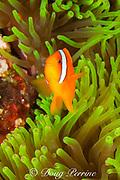 tomato clownfish or tomato anemonefish, Amphiprion frenatus, male, in magnificent sea anemone, Puerto Galera, Mindoro Island, Philippines, Tayabas Bay ( Western Pacific Ocean )