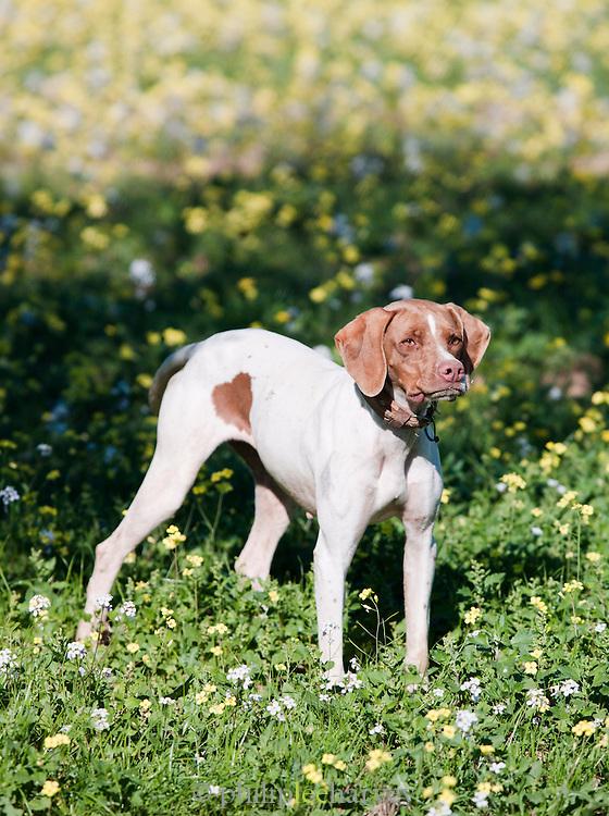 Guard dog at an Olive Grove outside Mahdia, Tunisia