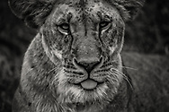 Close encounter with lioness in the Maasai Mara.