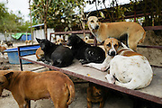 Rescued dogs rest on a bench in an open area of the Yangon Animal Shelter.