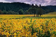 Goldeneye Vineyards in fall, near Philo, Anderson Valley, Mendocino County, California