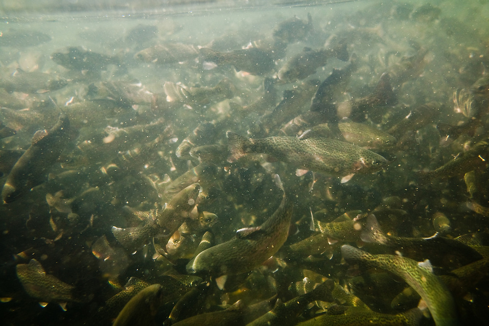 Salmon swarm inside the holding tank of a Feather River Fish Hatchery in Oroville, CA. Critics of hatcheries point to the close proximity and poor food choices which result in disease and mutations that can spread to wild populations. September 23, 2009.