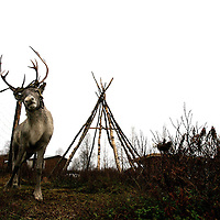 Tethered to a post a reindeer shakes furiously to break free.  Reindeer are fashioned this way temporarily before a slaughter or being transported to their homes for tourism purposes..