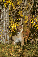 Mountain lion stalks between cottonwood trees. [This animal was born and raised in captivity, photographed in an outdoor setting in Idaho.], © David A. Ponton