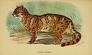 clouded leopard (Neofelis nebulosa Here As Felis nebulosa) is a wild cat inhabiting dense forests from the foothills of the Himalayas through mainland Southeast Asia into South China.  From the book ' A handbook to the carnivora : part 1 : cats, civets, and mongooses ' by Richard Lydekker, 1849-1915 Published in 1896 in London by E. Lloyd