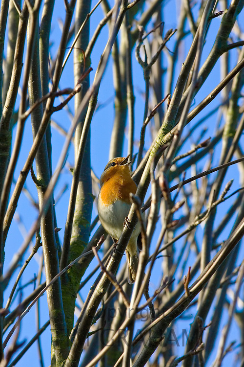 Robin among bare tree branches, Oxfordshire, United Kingdom.