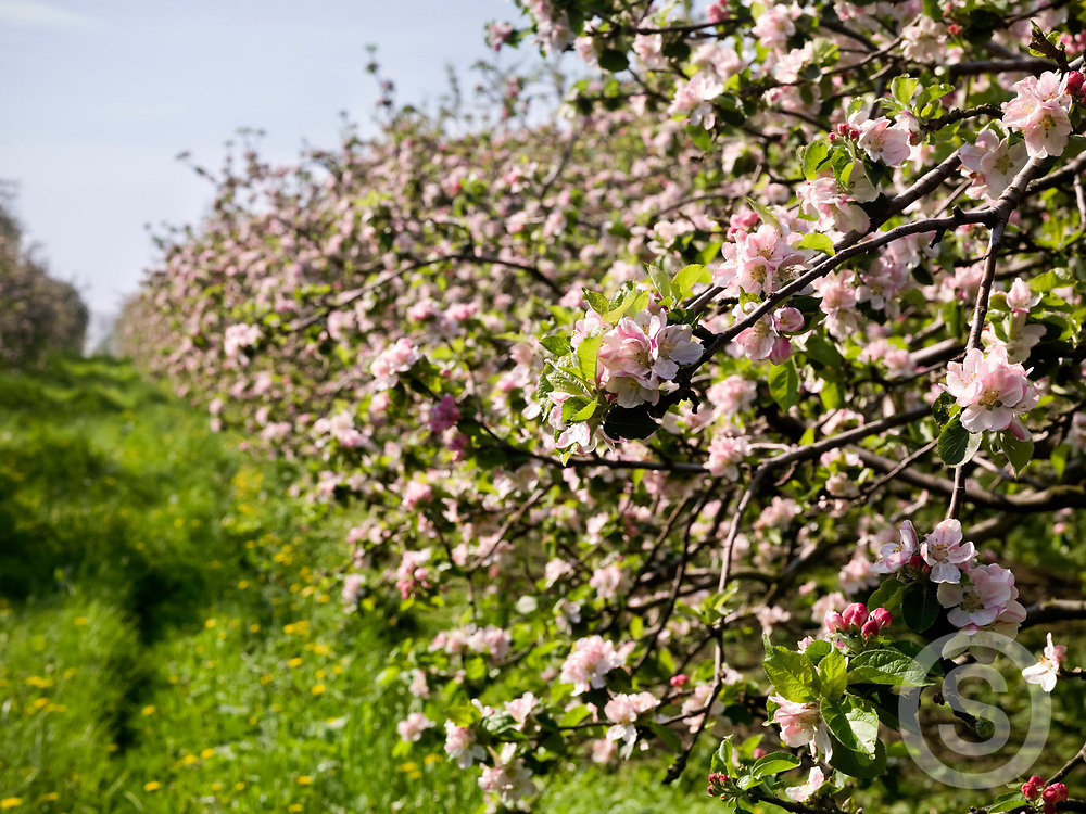 Photographer: Chris Hill, Apple Orchards, County Armagh