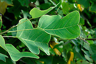 Chinese Tulip Tree Liriodendron chinense (Height to 25m) is similar to Tulip Tree L. tulipifera in most respects although leaves are more narrowly waisted and terminal 'cut' is less indented. Native to E Asia and planted here occasionally.