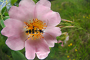 Spotted Longhorn (Rutpela maculata) (syn. Strangalia maculata) Kaiserstuhl, Germany |  Schmalbock-Käfer (Rutpela maculata) auf Rose, Gefleckter Schmalbock; Kaiserstuhl, Oberrheinische Tiefebene, Deutschland