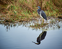 Tricolored Heron. Biolab Road, Merritt Island National Wildlife Refuge. Image taken with a Nikon D3s camera and  70-200 mm f/2.8G VRII lens and TC-E 2.0 III teleconverter (ISO 200, 400 mm, f/5.6, 1/160 sec).