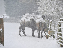 © Licensed to London News Pictures. 18 January 2013. Burford Oxfordshire. Snow hits Oxfordshire today. Camels at the Cotswold Wild Life Park near Burford braves the snow. Photo credit : MarkHemsworth/LNP