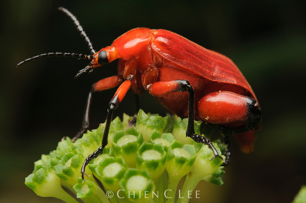 Blister beetle (Horia debyi). The larvae of blister beetles of the genus Horia prey on the larvae of Xylocarpa carpenter bees. This is an adult male, evidenced by the enlarged hind femora. Sarawak, Malaysia (Borneo).
