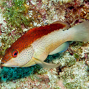 Coney, bicolor phase, inhabit reefs in Tropical West Atlantic; picture taken San Salvador, Bahamas.