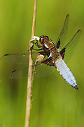 A male Broad-bodied Chaser Dragonfly, Libellula depressa, perches by a pond Peak District