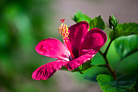 Vibrant tropical pink hibiscus.