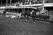 08/08/1962<br /> 08/08/1962<br /> 08 August 1962 <br /> Dublin Horse show at the RDS, Ballsbridge, Dublin, Wednesday. A parade of the Hounds of the North Down Harriers by the Master Mr Granville Nugent, took place in the Jumping Enclosure at the RDS. Image shows the Harriers passing the stands.