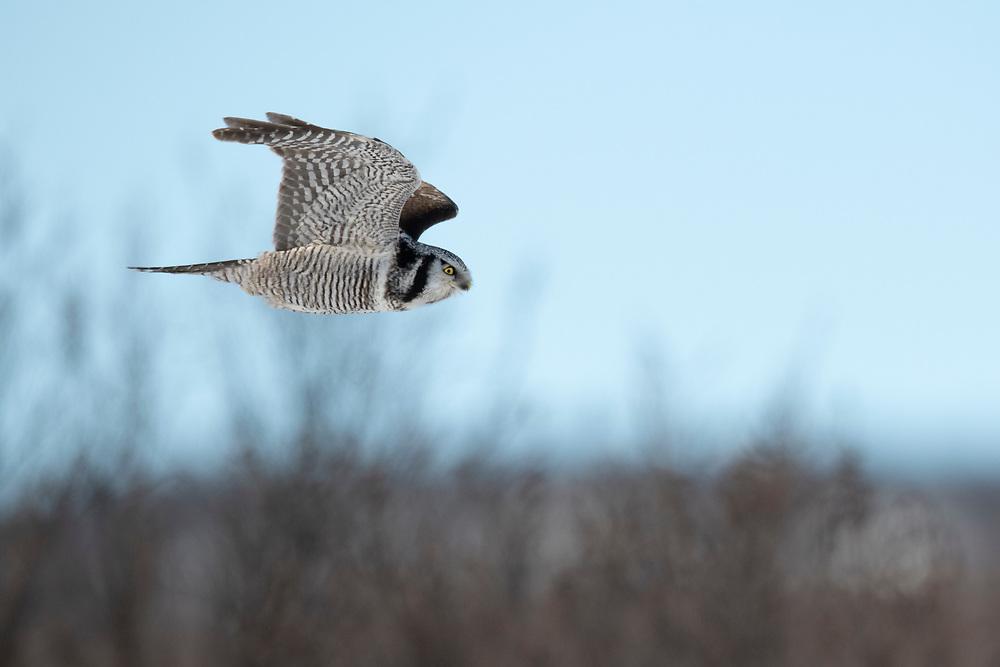 Eurasian hawk-owl, Surnia ulula, Varanger, Finnmark, Norway