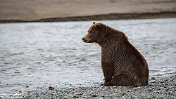 Crimp Ear searching for salmon