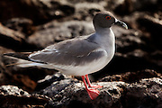A male swallow-tailed gull (Creagrus furcatus) in the tidal zone of South Plaza Island, Galapagos Archipelago - Ecuador.