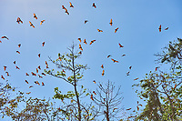 group of fruit bats flying in Palawan Philippines