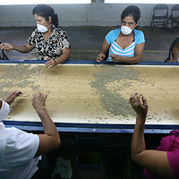 A line of women workers sort coffee from both sides of a conveyor belt at the El Jabali coop's coffee mill. The conveyor belt carries a fresh batch of milled coffee for sorting every 90 seconds. Cooperativa El Jabali is a certified Fairtrade coffee producer based in El Salvador.
