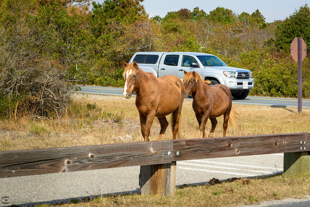 Wild pony (horse), Assateague Island National Seashore, Maryland, USA