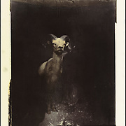 """""""Big Horn"""". 11""""x14"""" gelatin silver print, toned with cactus tea. Photo shot by the """"Deer"""" camera. <br /> # 8 of 12."""
