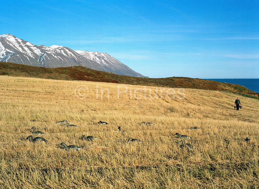 An Icelandic farmer walks through a field of plastic decoy geese with two dead greylag geese he has just shot, Dalvik, Iceland