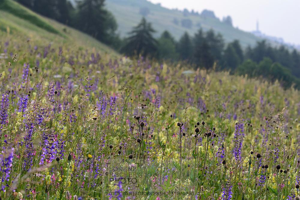 Blumenwiese mit Skabiosen-Flockenblume (Centaurea scabiosa) und Wiesensalbei (Salvia pratensis, blau) an einem Frühlingstag im Juni an den Südhängen oberhalb des unterengadiner Dorfes Scuol