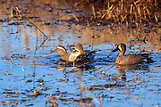 A male Garganey (left) usually found in Europe and western Asia, makes a rare visit to North America at Crex Meadows State Wildlife Area near Grantsburg, Wisconsin where it swims with two native Blue-winged teal. This is the first reported instance of the species in the state.