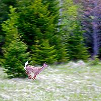 North America, Canada, Nova Scotia, Halifax County. White-tailed deer.