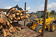 The freshly cut trees are stacked on a local airfield to dry out. The drying process takes about a year. Suffolk county council sustainable wood chip production, Suffolk.