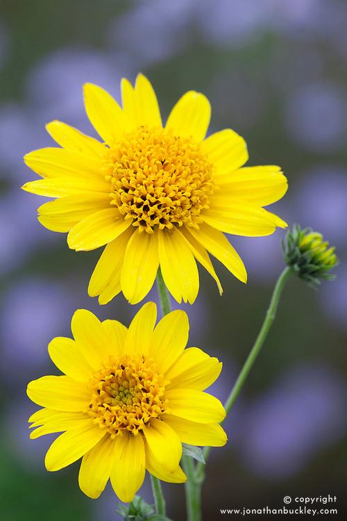 Helianthus decapetalus Morning Sun. Sunflower