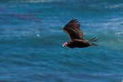 A turkey vulture,<br /> Cathartes aura, in flight.
