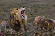 Male lions, kickass defenders of a pride, Serengeti National Park, Tanzania.