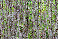 Red Alder (Alnus rubra) forest in spring green leaves in the Olympic National Forest in Washington, USA