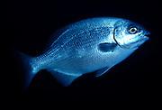 UNDERWATER MARINE LIFE CARIBBEAN, ATLANTIC FISH; Bermuda Chub; Kyphosus sectatrix