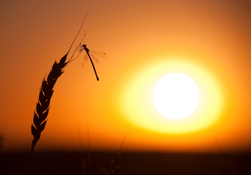 A dragonfly lands on a wheat stock ready for harvest during sunset on the Canadian prairies near Vulcan, Alberta, September 7, 2011. Canada's overall stockpile of wheat as of July 31 dropped by 8.2 percent from a year ago, a smaller decrease than traders had predicted, Statistics Canada data indicated. REUTERS/Todd Korol (CANADA)