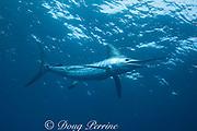 striped marlin, Kajikia audax (formerly Tetrapturus audax )<br /> King Bank, North Island, New Zealand<br /> ( South Pacific Ocean )